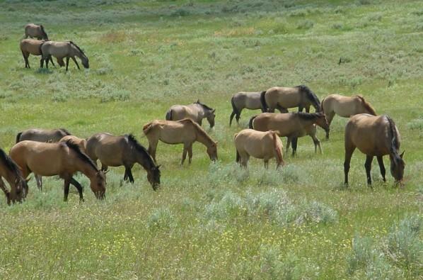 Gila Wild Horses grazing