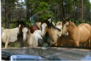 Wild Horses, Heber, Arizona