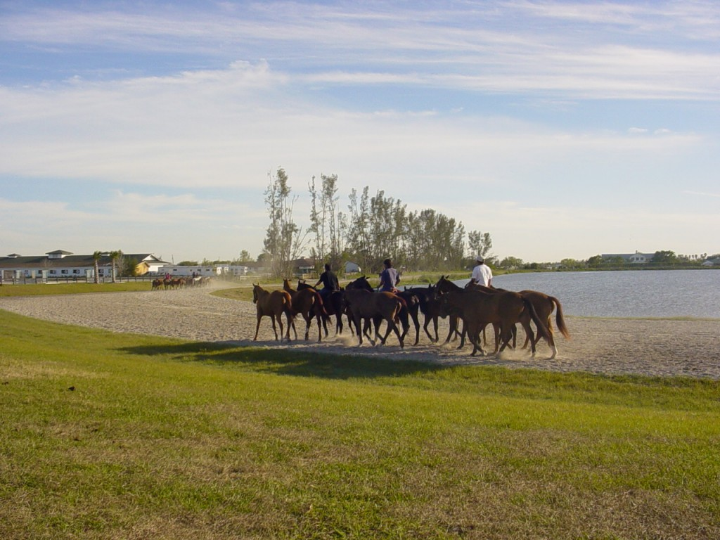 Polo ponies exercising as as herd