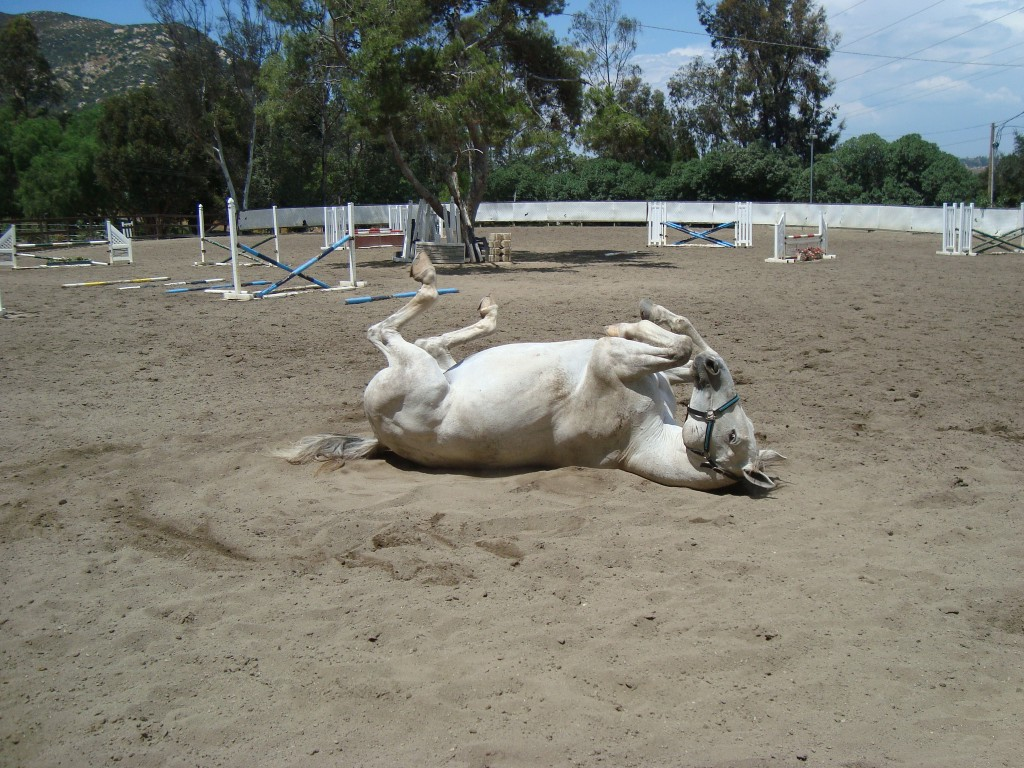 Horse rolling during turnout, natural behavior
