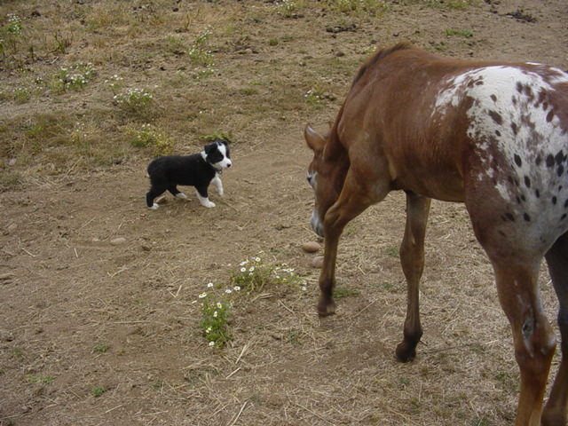 Foal and puppy curious, interspecies play
